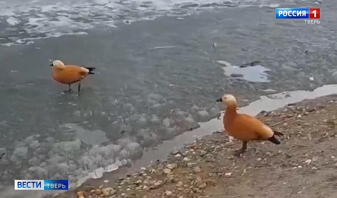 Оранжевые утки поселились на одном из водоемов города Кимры | Видео